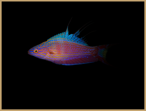 Bell's Flasher Wrasse