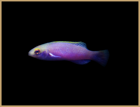 Claire's Fairy Wrasse
