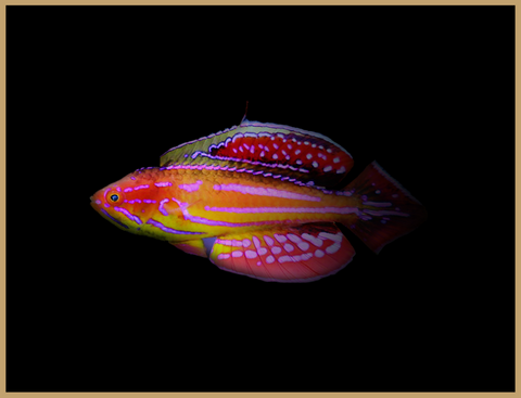 Diamond Tail Flasher Wrasse