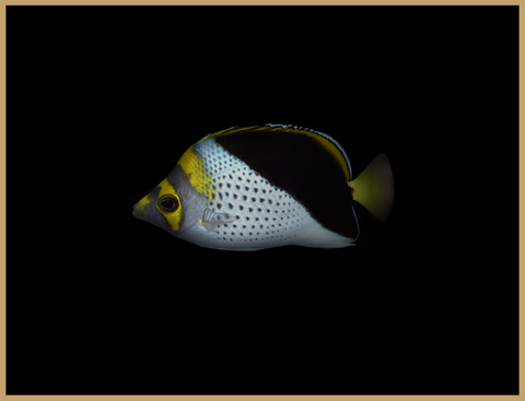 Gold Crowned Butterflyfish