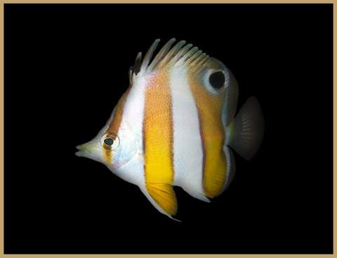 Hawaiian Gold Barred Butterflyfish