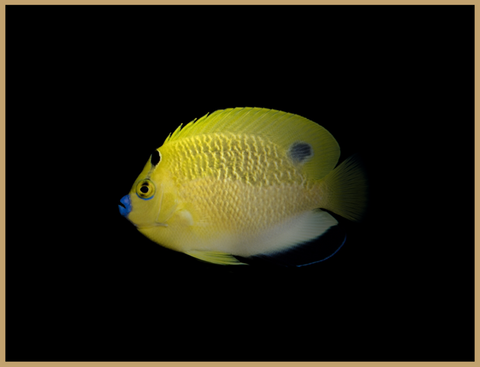 Goldflake Hybrid Angelfish