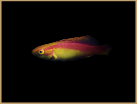 """Inferno"" Flame Wrasse Male"