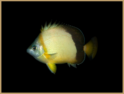 Japanese Butterflyfish