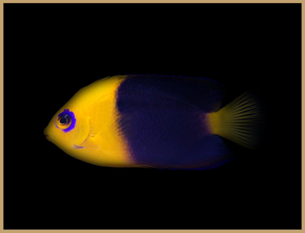 Joculator Angelfish