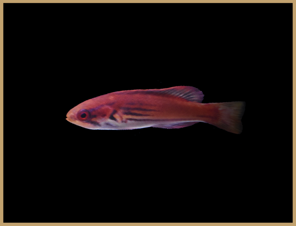 Female Madagascar Flasher Wrasse