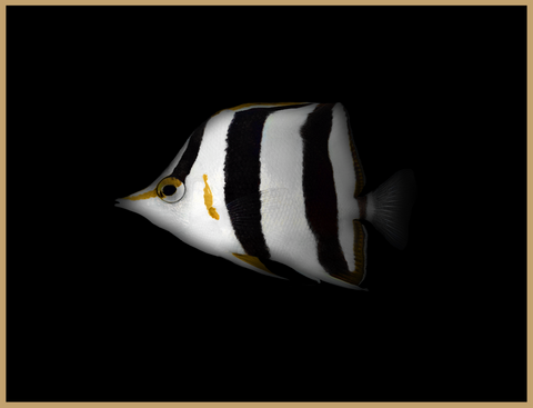 Orange Margin Butterflyfish