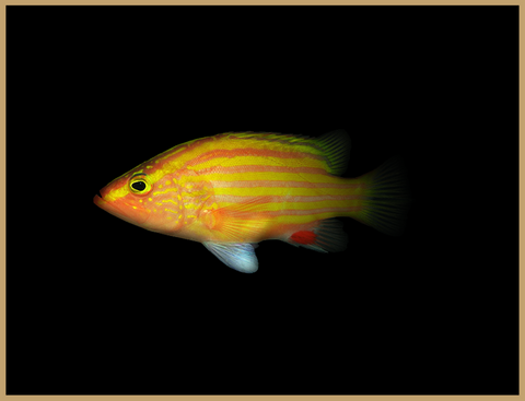 Spanish Flag Grouper