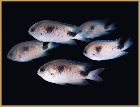 Corazon's Damselfish (Harem of 5)