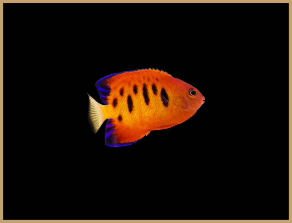 Morse Code Flame Angelfish