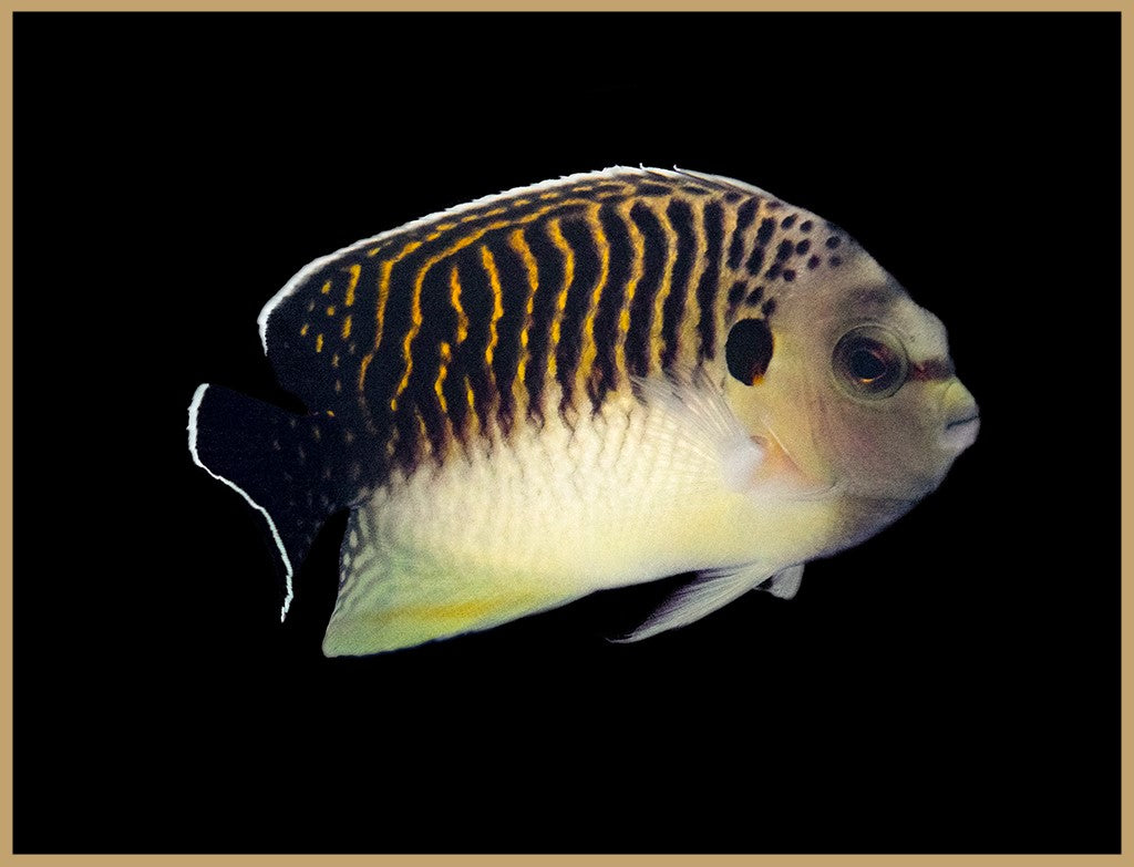 Tiger Angelfish