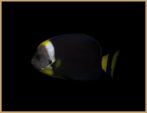 True Personifer Angelfish