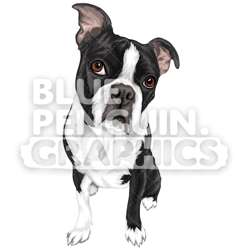 Boston Terrier Dog Version 1 Vector Clipart Illustration - Blue Penguin Graphics