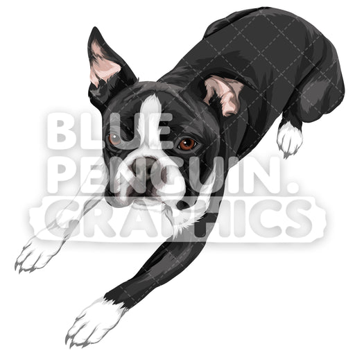 Boston Terrier Dog Version 3 Vector Clipart Illustration - Blue Penguin Graphics
