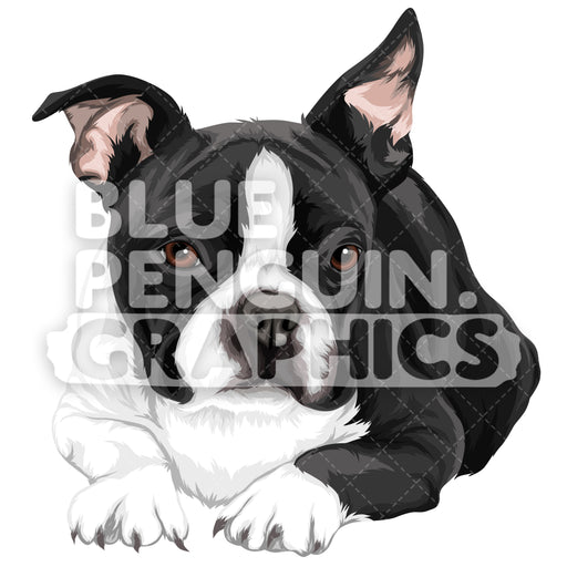 Boston Terrier Dog Version 5 Vector Clipart Illustration - Blue Penguin Graphics