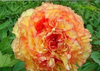 Golden Peony Plant Flower Seeds