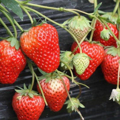 Strawberry Edible Sowing Garden