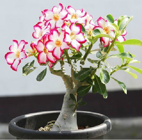 Bonsai Desert Rose Seeds