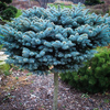 Evergreen Colorado Blue Spruce
