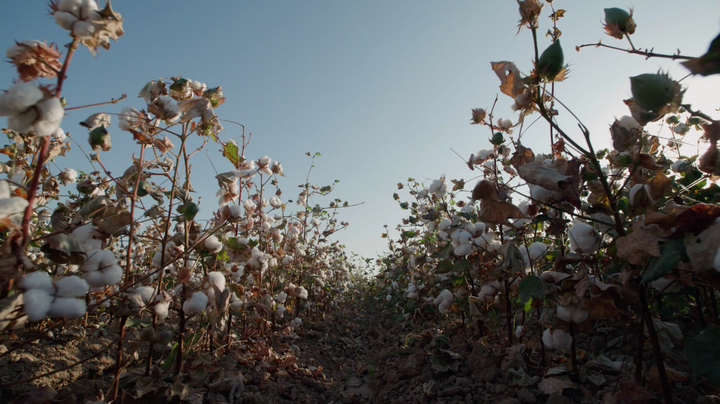 egyptian cotton fields