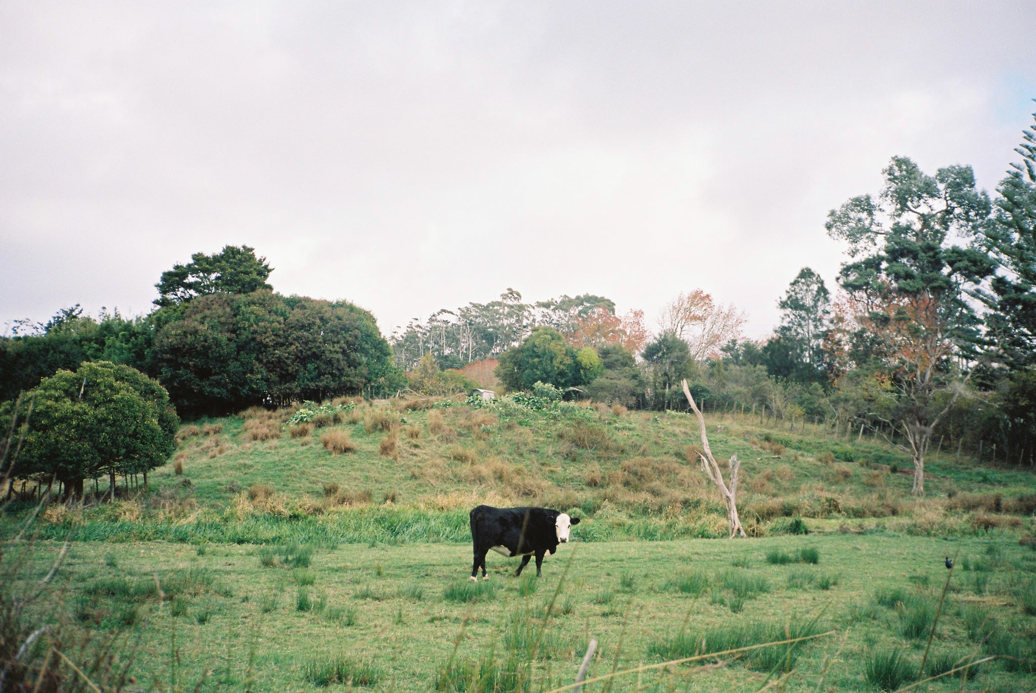 Cow in a Waitakere paddock