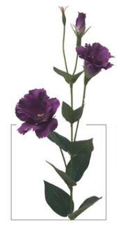 Everlasting Garden Lisianthus Stem - Purple