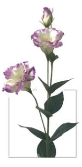 Everlasting Garden Lisianthus Stem - White/Purple