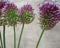 Allium - Purple Bullet