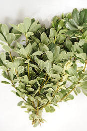 Pittosporum - Variegated