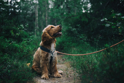 Blog - getting your dog used to its collar and leash