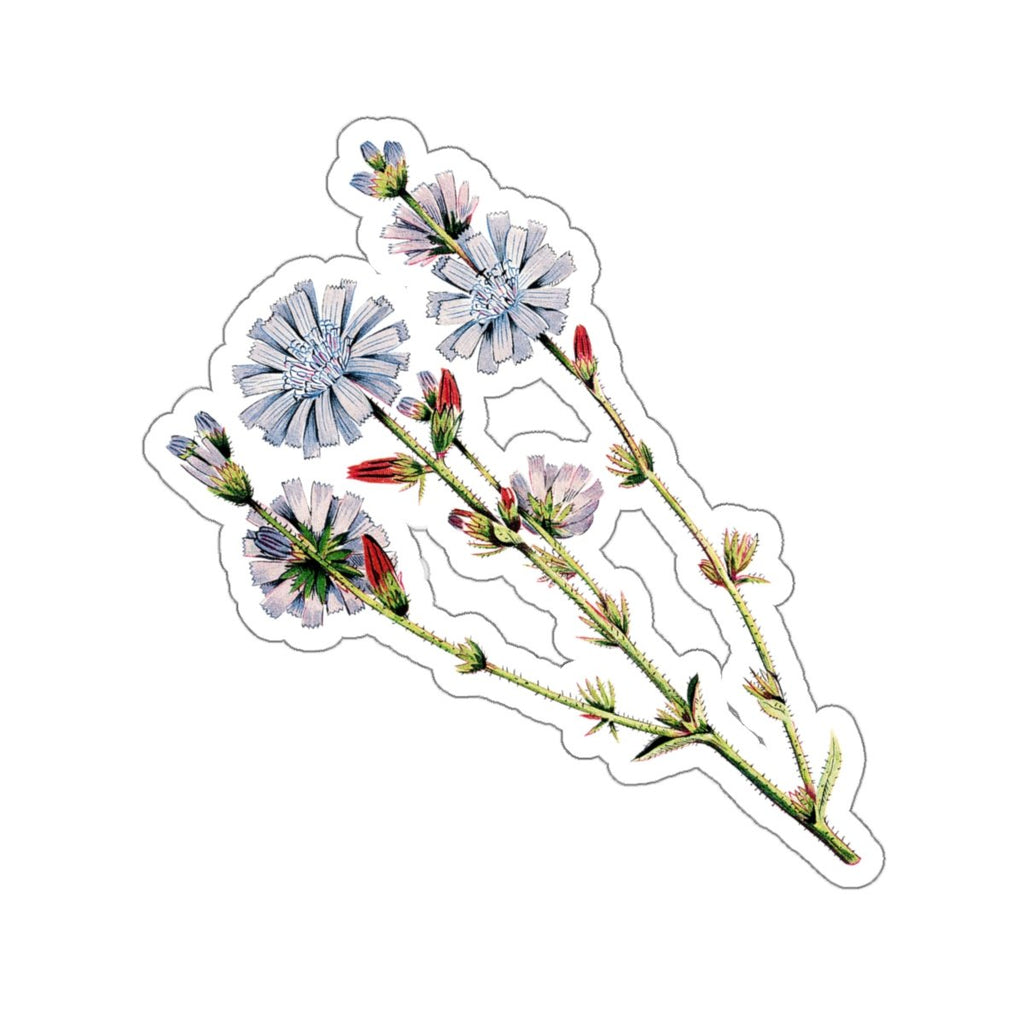 Chicory botanical sticker