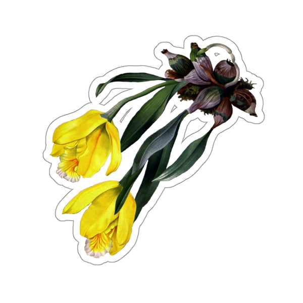 Tulip Orchid | Encyclia Citrina | Botanical Illustration | Stickers