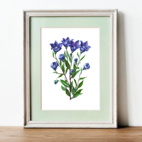 Botanical Print · Balloon Flower Botanical Posters  | Vintage Flower Print or Plant Print