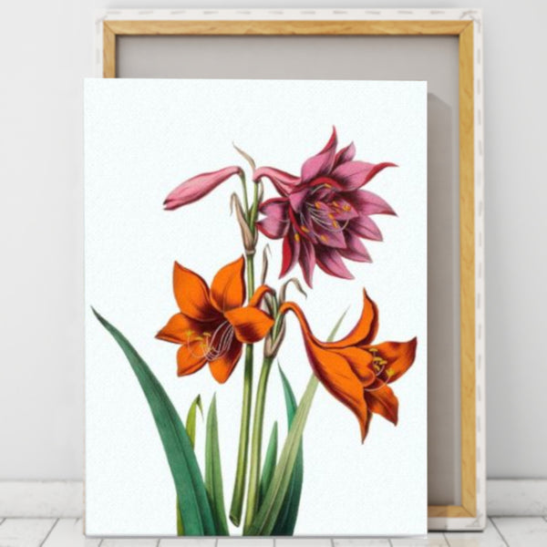 Barbados Lily (Hippeastrum puniceum) Botanical Illustration Canvas