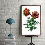 Bi-Color Anemone |  Anemone Coronaria | Botanical Illustration | Poster