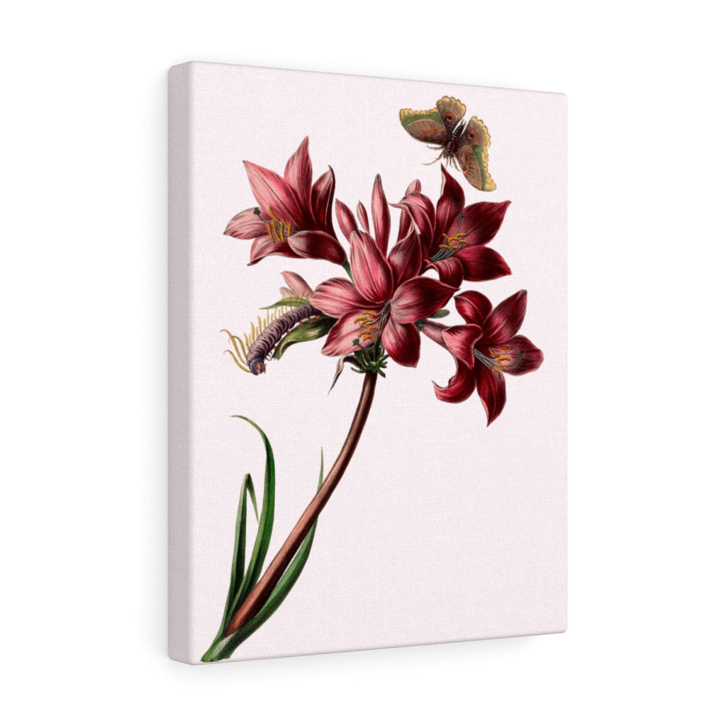 Pink Rain Lily (Zephyranthes carinata) Botanical Illustration Canvas Print
