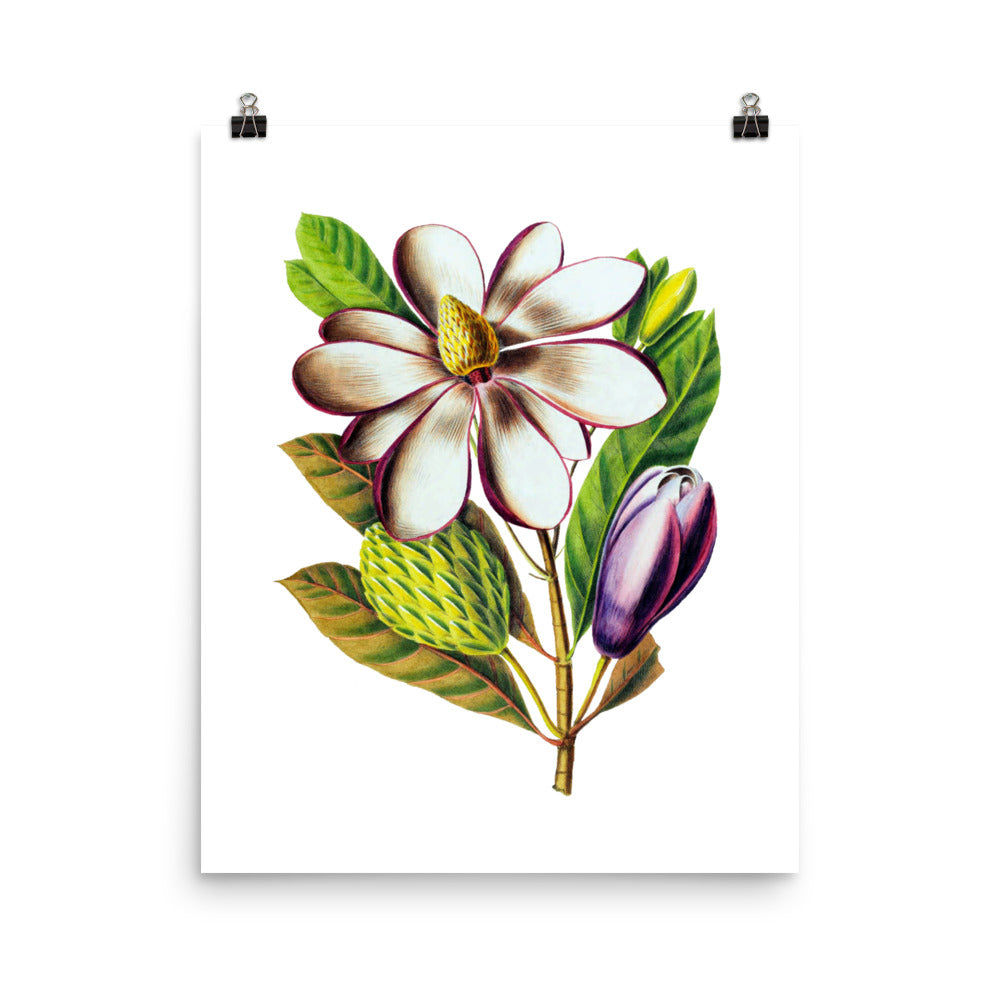 Magnolia Dodecapetala | Botanical Illustration | Poster