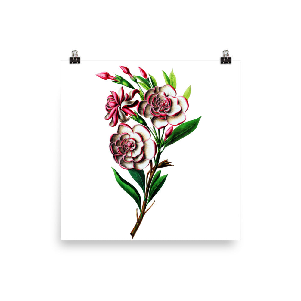 Gardenia Botanical Illustration Poster