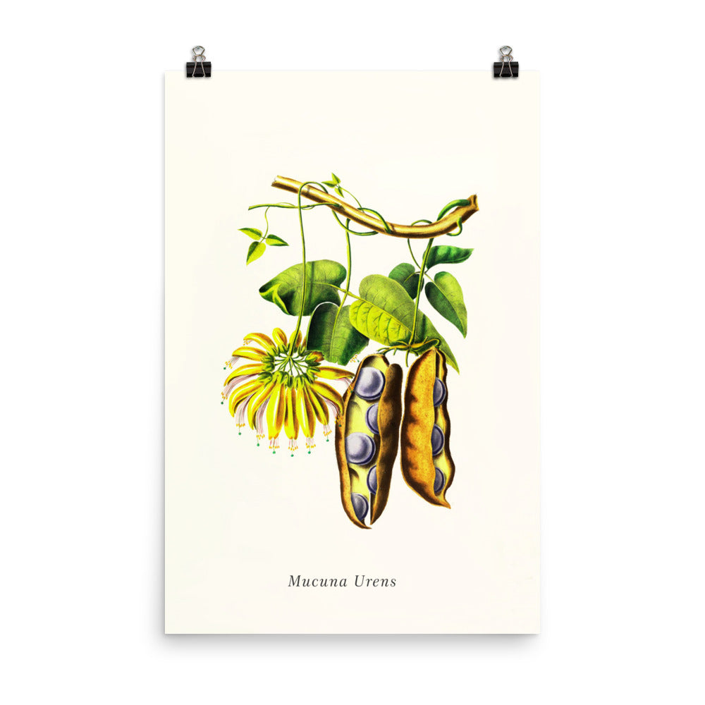 Mucuna Diplax | Botanical Illustration | Poster