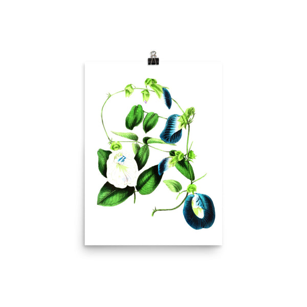 Butterfly Pea (Clitoria ternatea) Botanical Illustration Poster