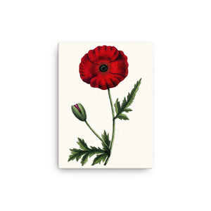 Red Poppy (Papaver rhoeas) Botanical Illustration Canvas