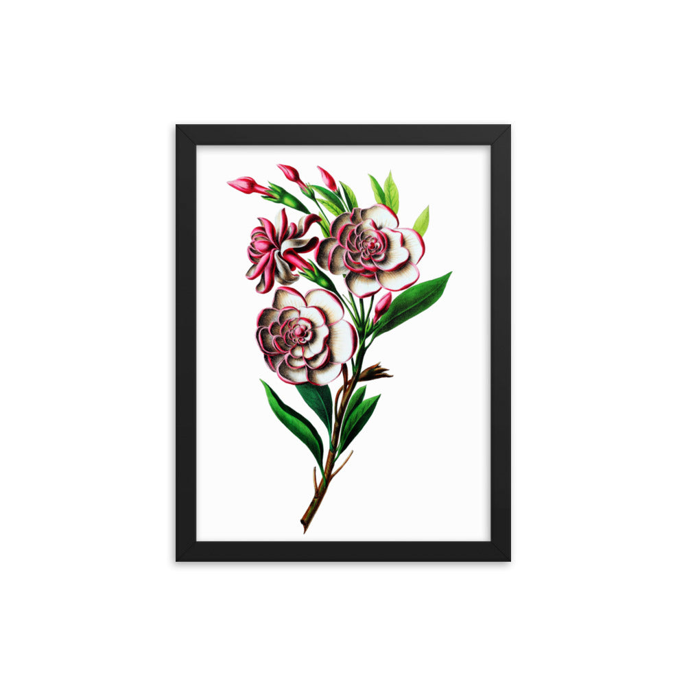 Gardenia Botanical Illustration Framed poster