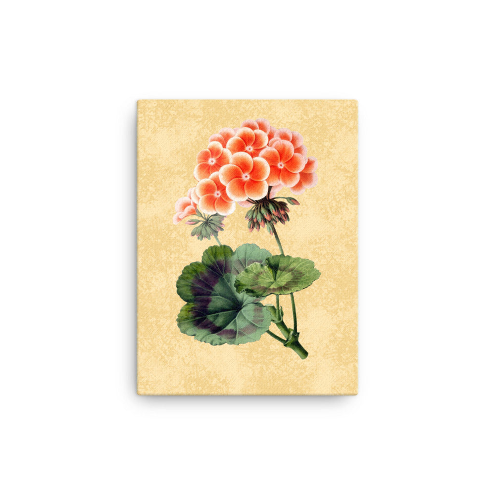 Geranium Zonal | Pelargonium Spp. | Botanical Illustration | Canvas Print