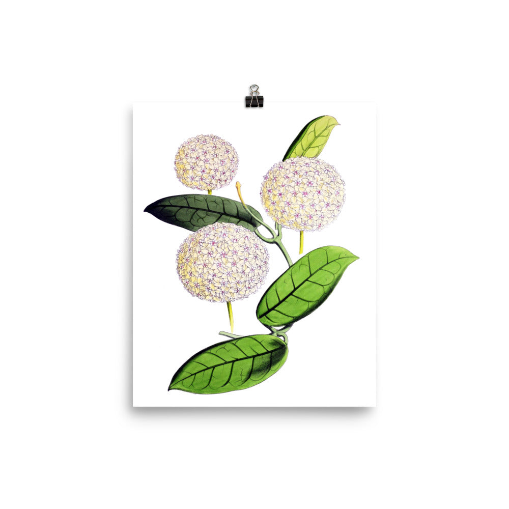Hoya globulosa Botanical Illustration Poster