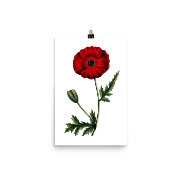 Red Poppy (Papaver rhoeas) Botanical Illustration Poster