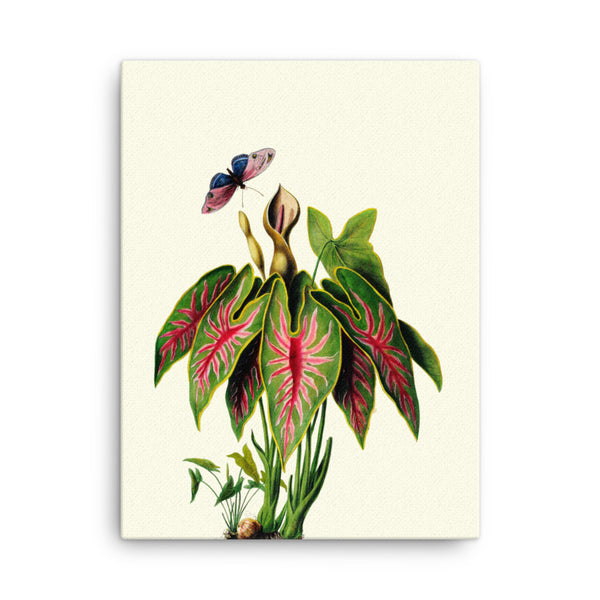 Angel Wings | Caladium Bicolor | Botanical Illustration | Canvas Print