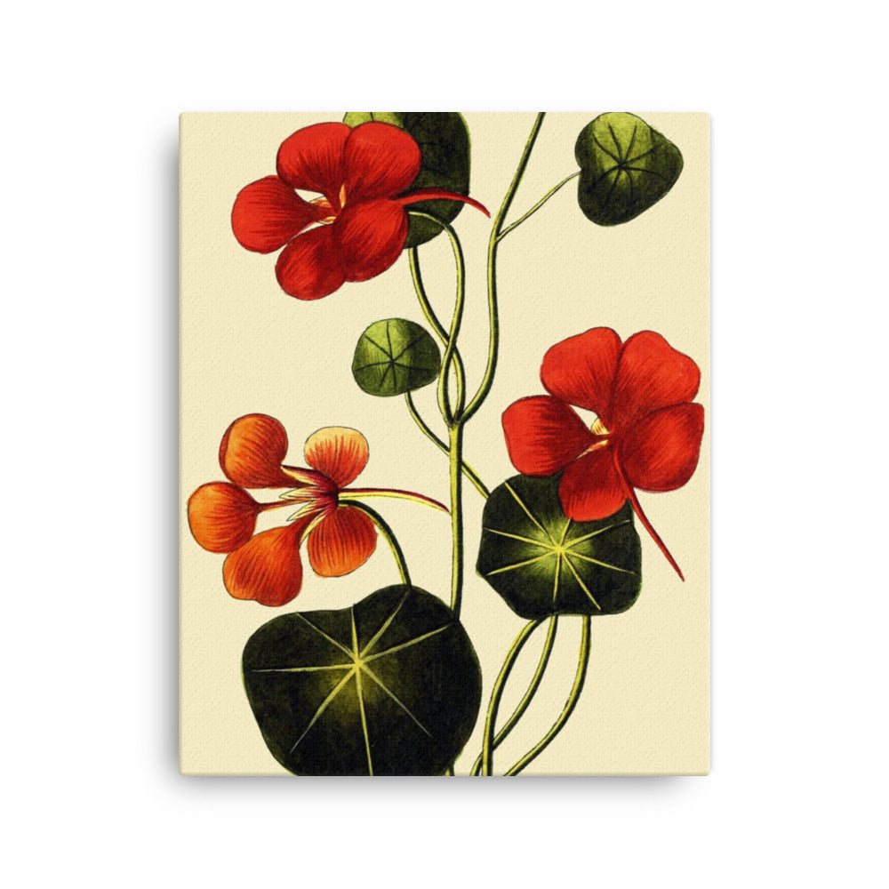 Garden Nasturtium (Tropaeolum Majus) Botanical Illustration Canvas