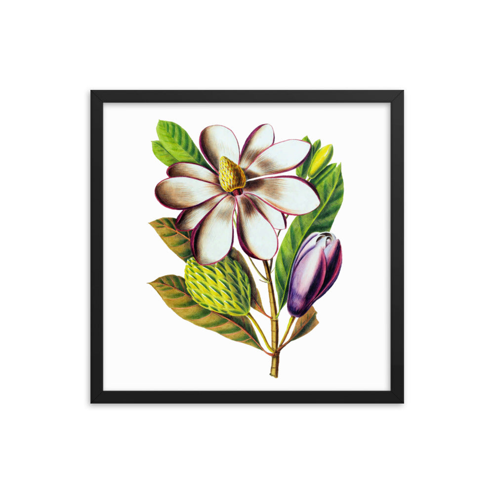 Magnolia Dodecapetala | Botanical Illustration | Framed poster