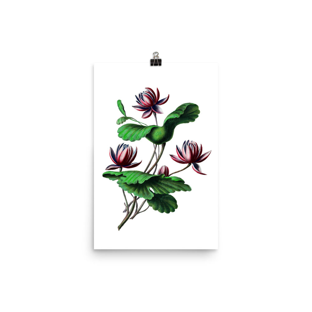 Indian Lotus | Nelumbo Nucifera | Botanical Illustration | Poster