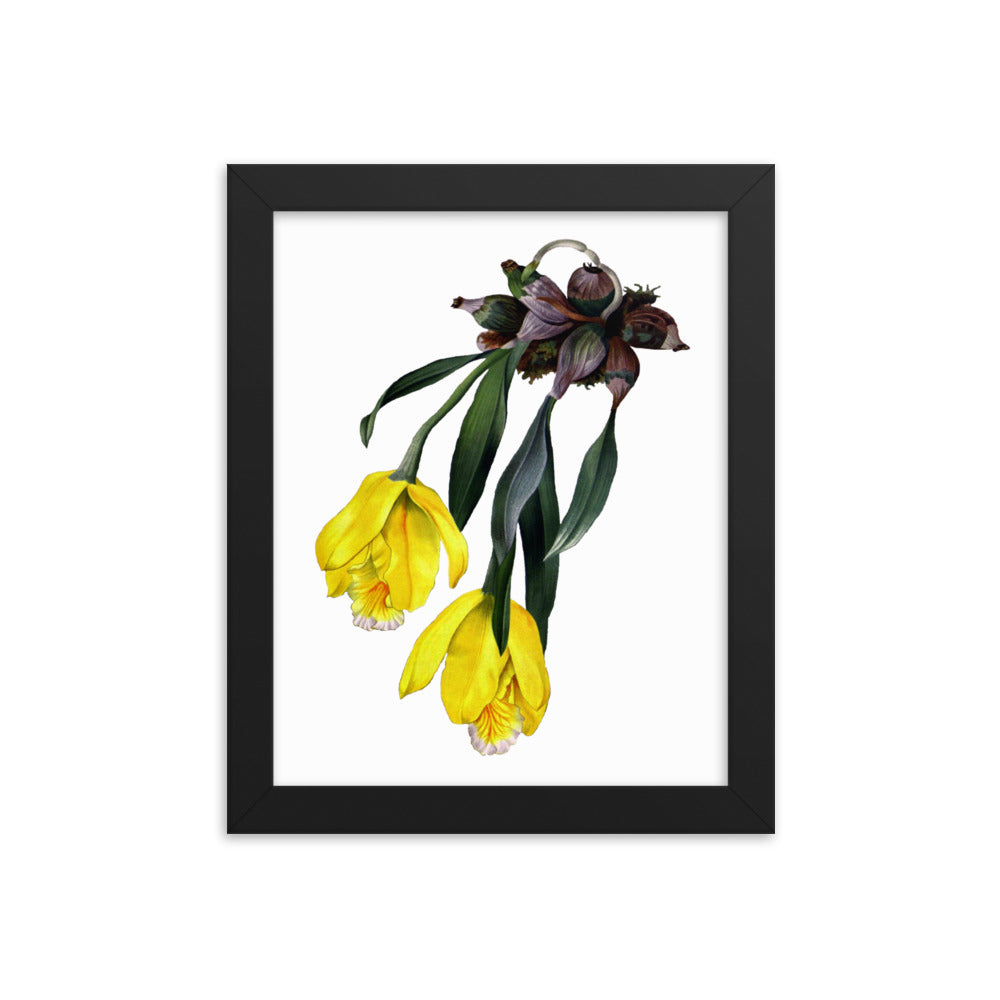 Tulip Orchid | Encyclia Citrina | Botanical Illustration | Framed Poster